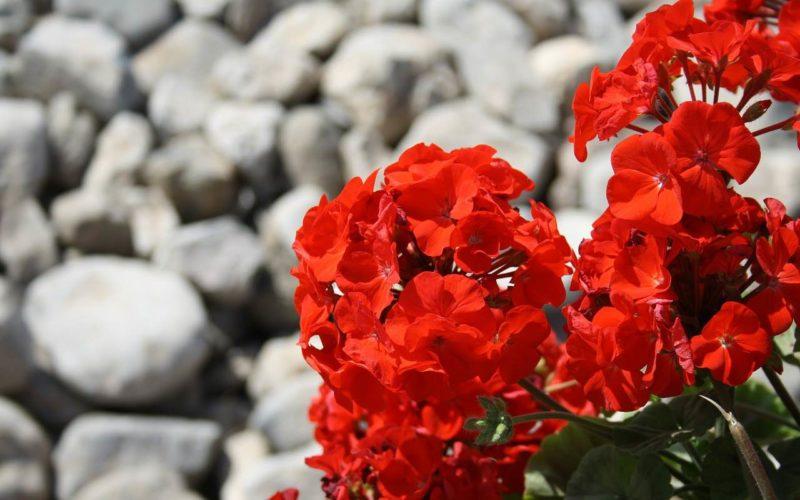Stauden - populäre Sorten, einpflanzen und Pflege